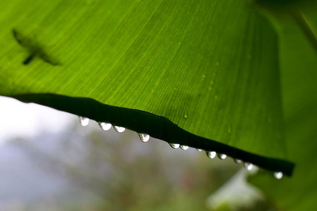 Rainsdrops hanging on leaf