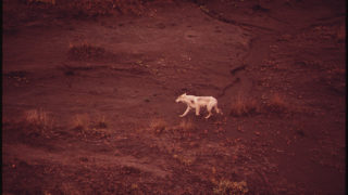 Silver White Wolf in the Atigun Valley - US National Archives