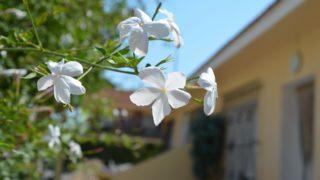 Jasmine flowers Pixabay